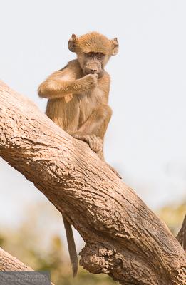 Young chacma baboon - Chobe, Botswana