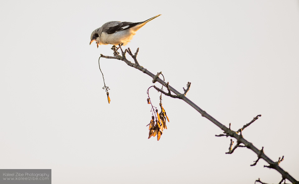 _ND42691 Lesser grey shrike-Lanius minor-kaleelzibe.com