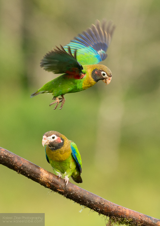Brown-hooded parrots, Pyrilia haematotis, northern Costa Rica