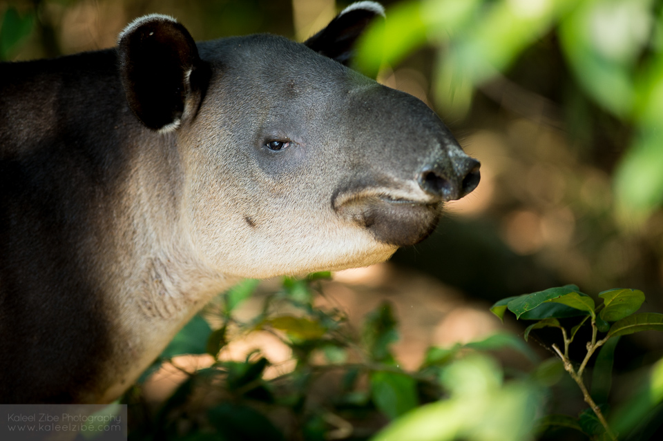 Baird's Tapir-Tapirus bairdii