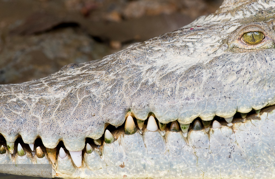 You would't mess with this guy: American crocodile, Crocodylus acutus