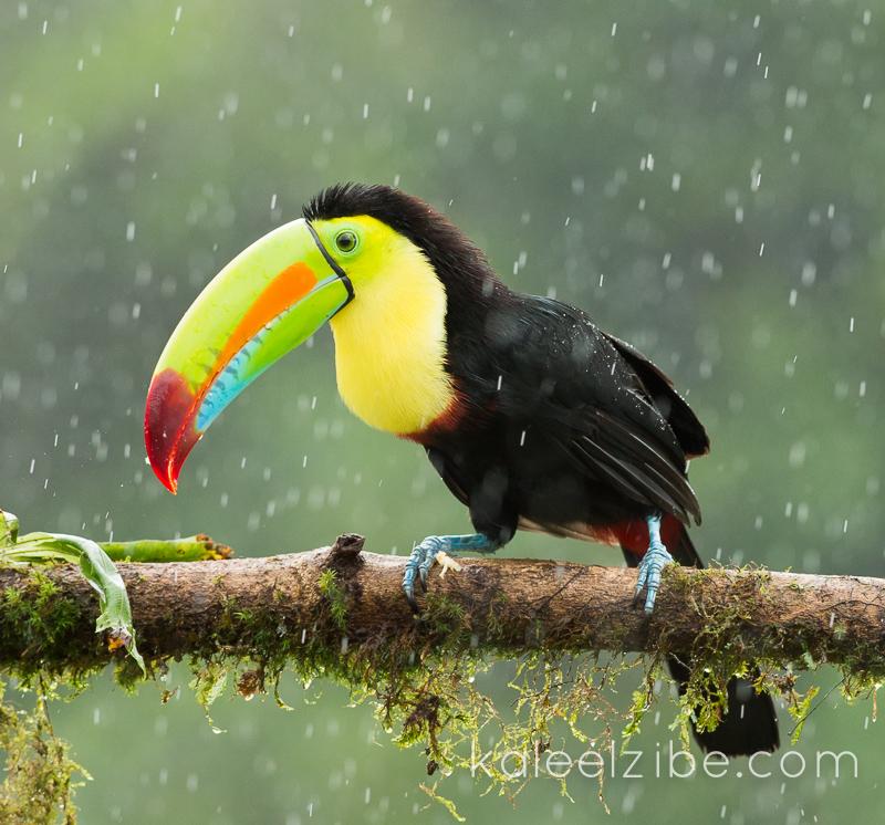 Keel-billed toucan in the rain