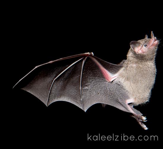 Leaf-nosed bat - Costa Rica