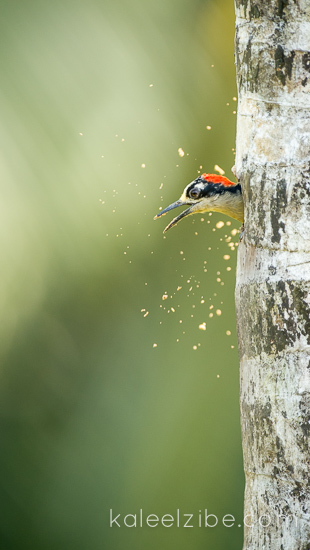 Black-cheeked woodpecker excavating nest hole