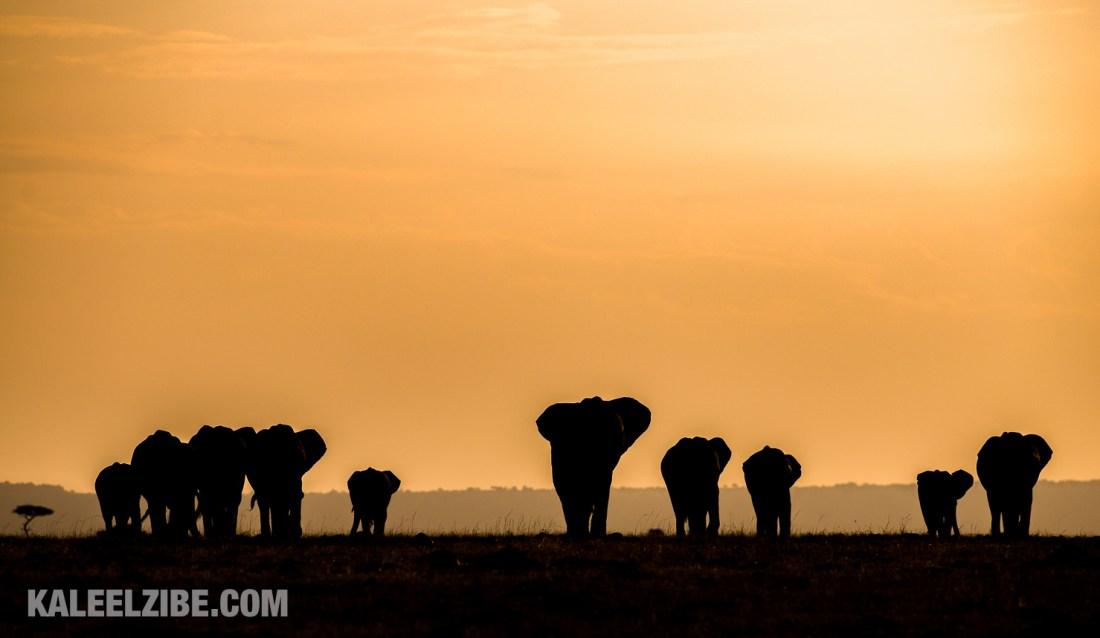 20150821-_D8E0103-Elephants into the sunset-Kenya-KaleelZibe.com