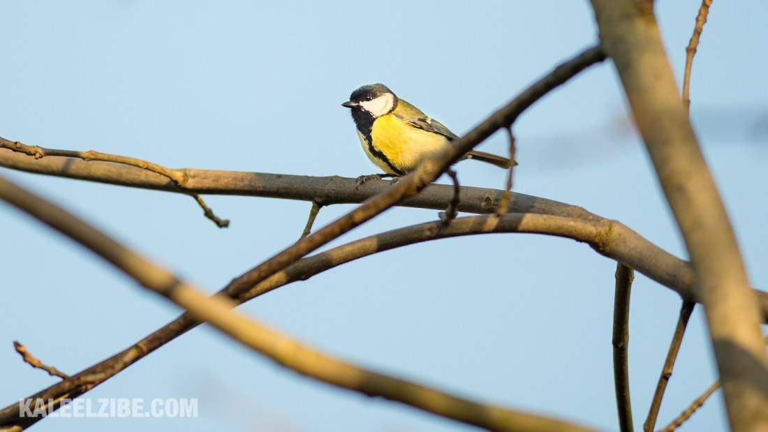20160119-_ND47484 Great tit-BBC Town Moor-Newcastle-KaleelZibe.com