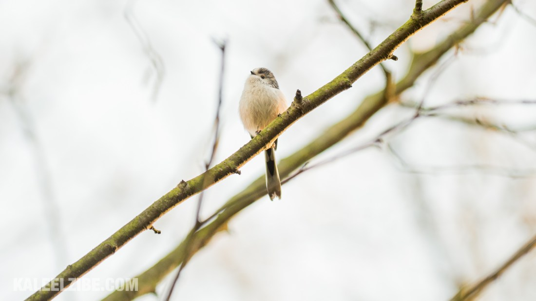 20160119-_ND47587 Long-tailed tit-BBC Town Moor-Newcastle-KaleelZibe.com