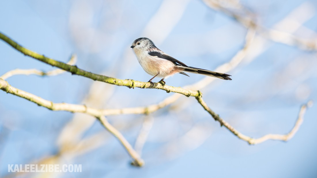 20160119-_ND47603 Long-tailed tit-BBC Town Moor-Newcastle-KaleelZibe.com