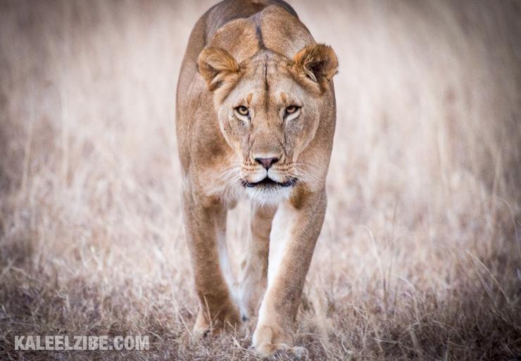 20160902-_d8e1244-lioness-on-the-prowl-lemek-kenya-kaleelzibe-com