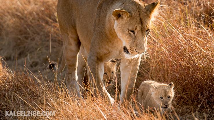20160908-_d8e1648-lioness-and-cubs-masai-mara-kenya-safari-kaleelzibe-com
