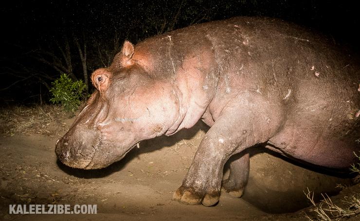 20160910-_5002207-hippo-masai-mara-kaleelzibe-com