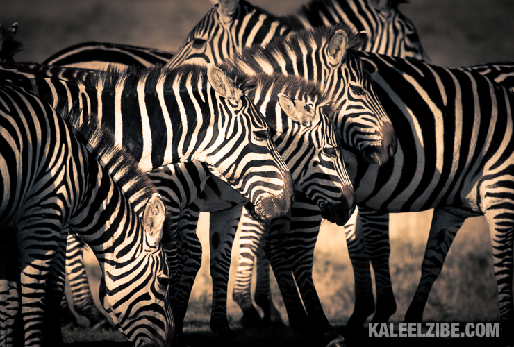A group of zebras at a waterhole