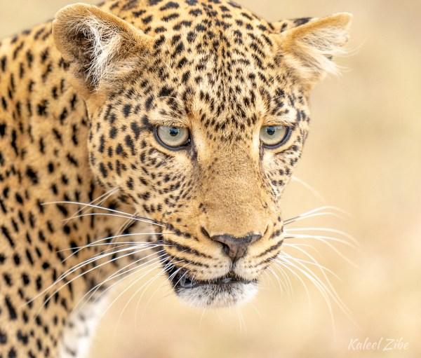 Female leopard close-up, Maasai Mara, Kenya