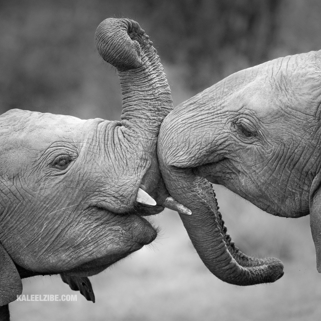 Young elephants play-fighting, Maasai Mara, Africa