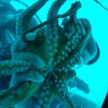 Croatie et Poulpe présenté par plongeur