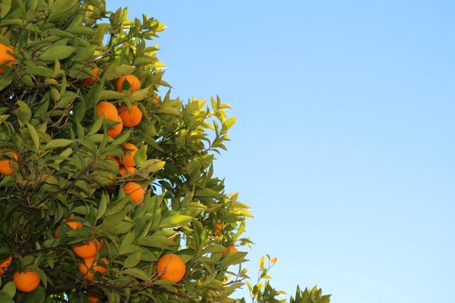 Oranges - Unsplash Free