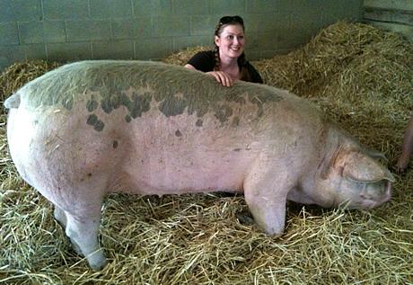 very big pig