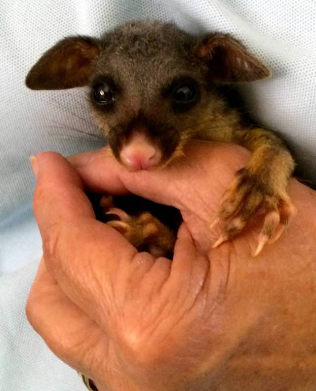 This little guy's tree was cut down. He's a brushtail possum.