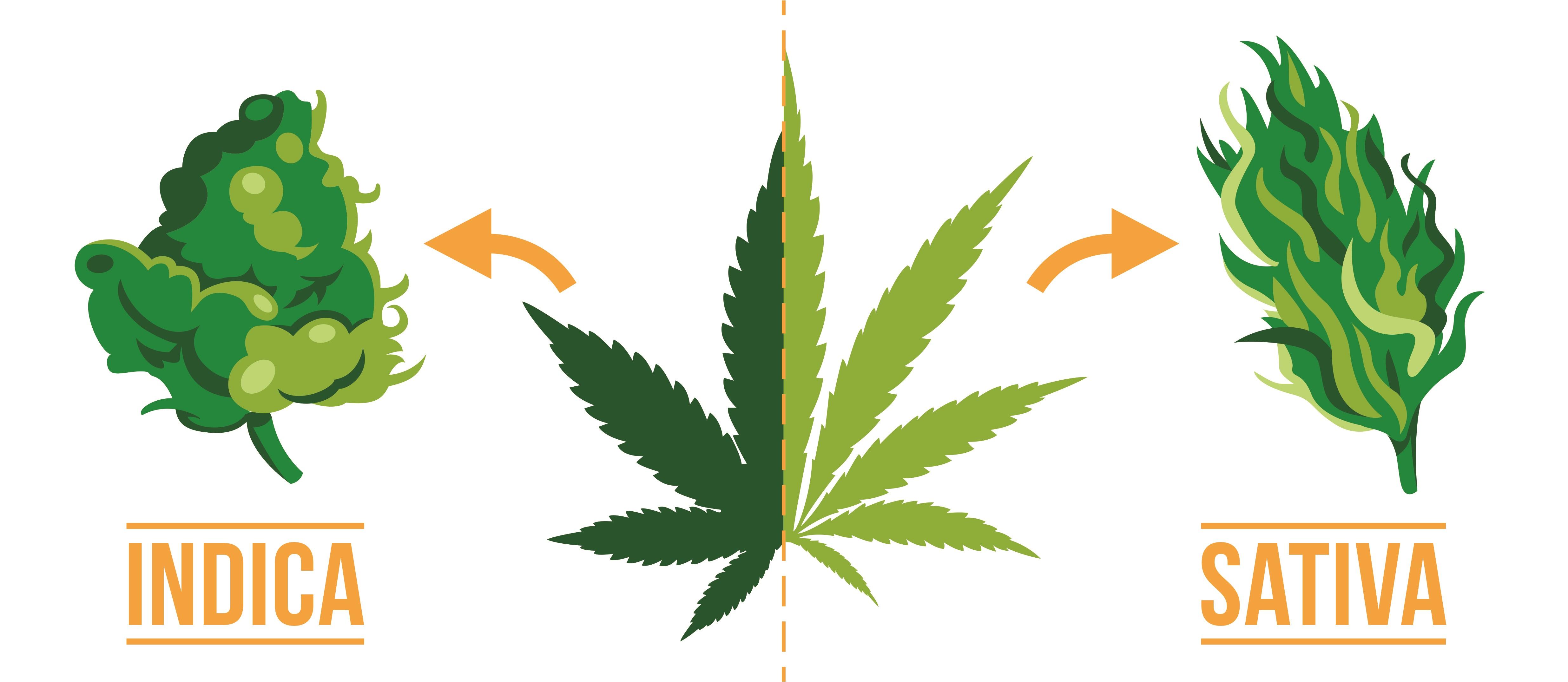 Diferencias entre cannabis Indica y Sativa