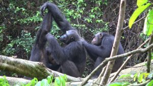 Estamos cambiando a los chimpancés