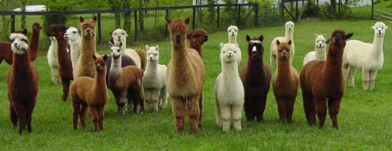Image result for herd of llamas