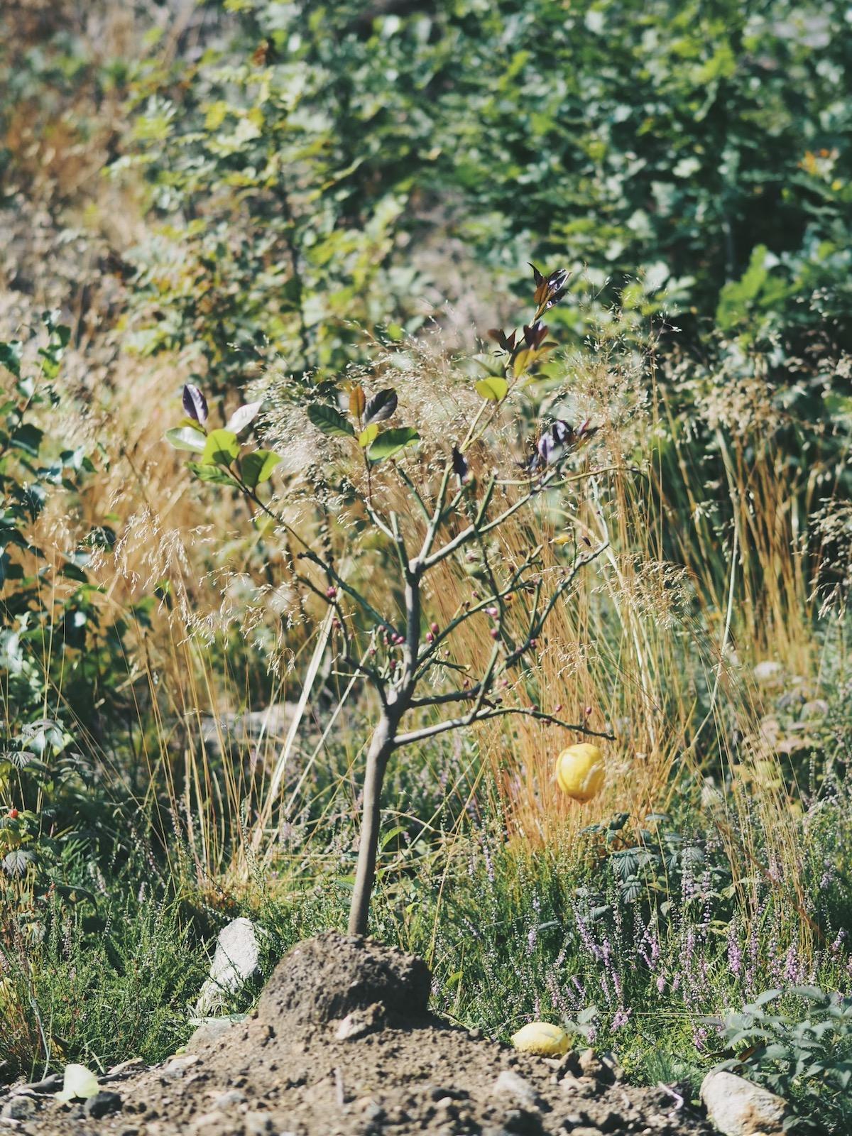 sitrontre plantet ute