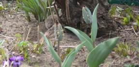 Wühlmaus vernichtet teure Pflanzen im Garten.