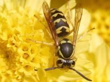 Deutsche Wespe bestäubt auch Blüten beim Nektar fressen.
