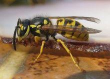 Eine echte Wespe frist auch Fleisch.