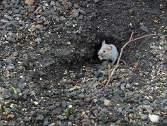 Mäuse suchen überall Nahrung und halten sich gern im Umfeld von Haus und Garten auf.