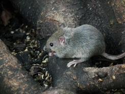 Mäuse sind sehr geschickt im Suchen von Nahrung, bald auch schon in Ihrer Wohnung?