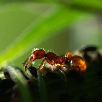 Ameise bewacht Blattläuse.