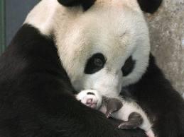 panda+baby.jpg