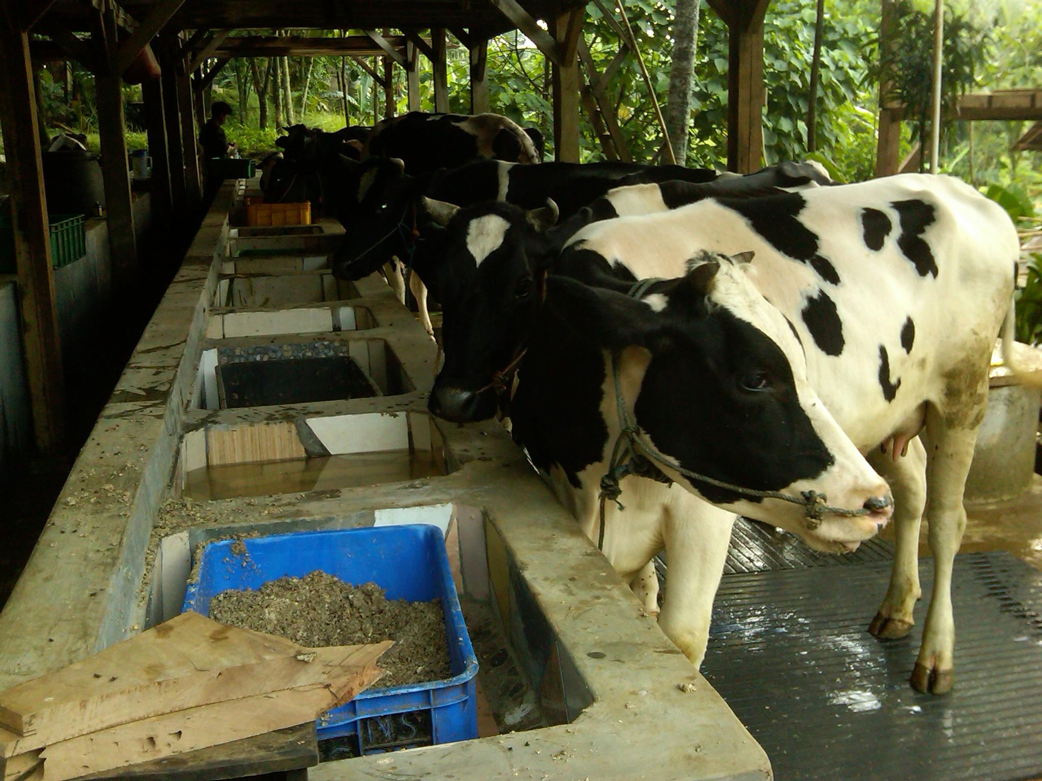 susu, sapi, perah, peternakan, kampung 99 pepohonan