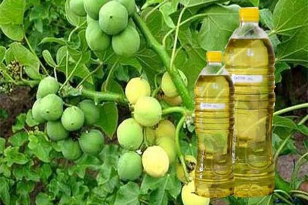 Tanaman Jarak (Biodiesel Murni)