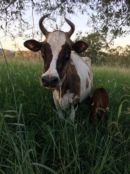 kandanga-farm-cow