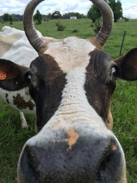 kandanga-farm-cow2