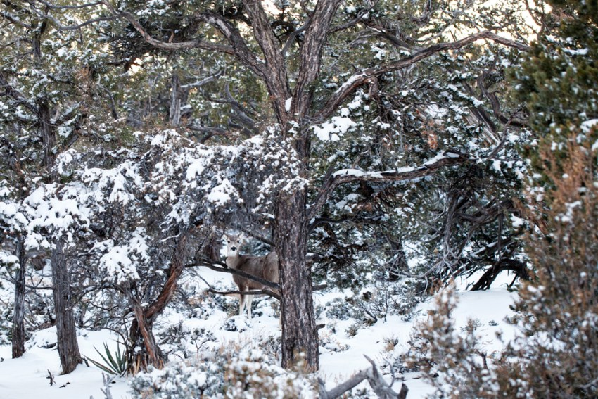 Grand Canyon deer in snow, Arizona