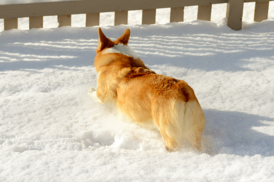 Corgi-playing-in-snow