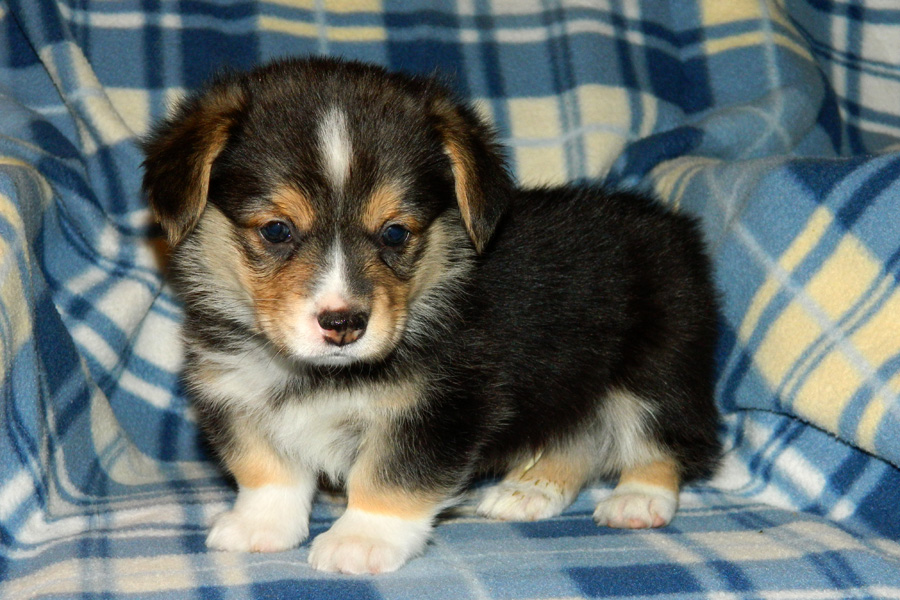 Dodger - Pembroke Corgi puppy - 5 weeks old
