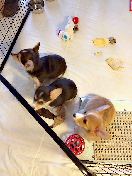 Litter of Corgi Puppies