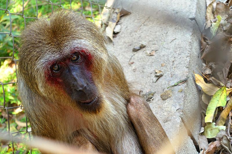 Thailand-WFFT-Macaque-Monkey-01