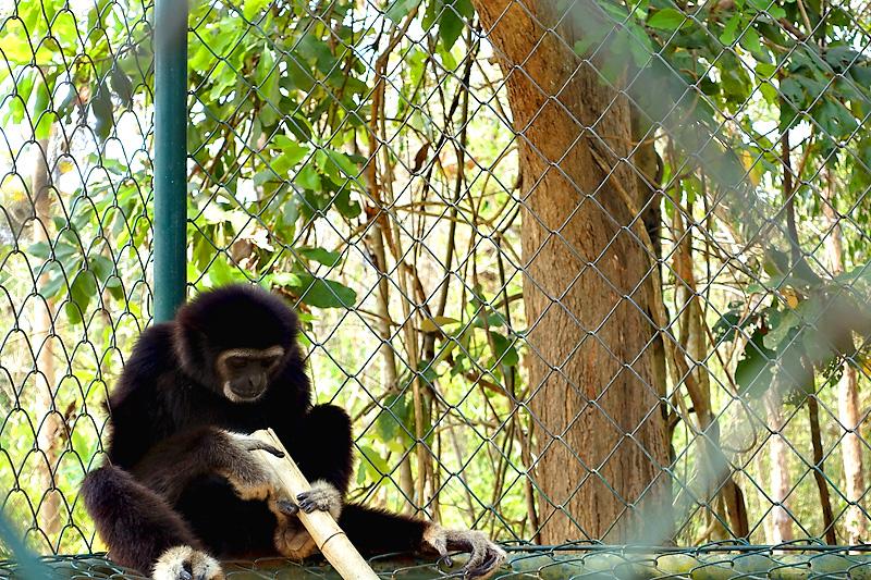 Thailand-WFFT-Macaque-Monkey-02