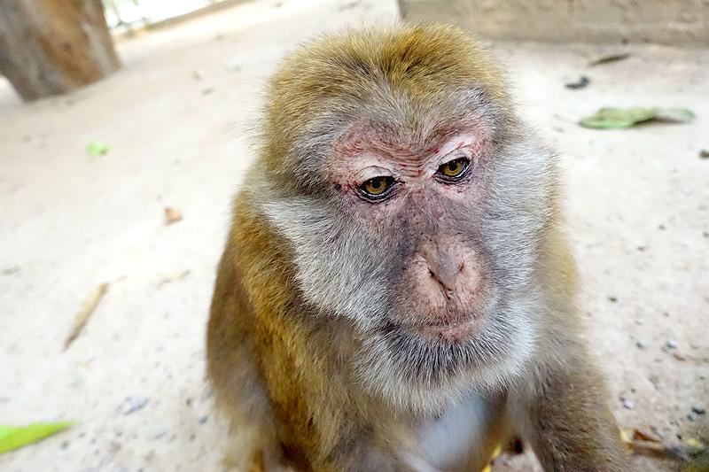 Thailand-WFFT-Macaque-Monkey-05