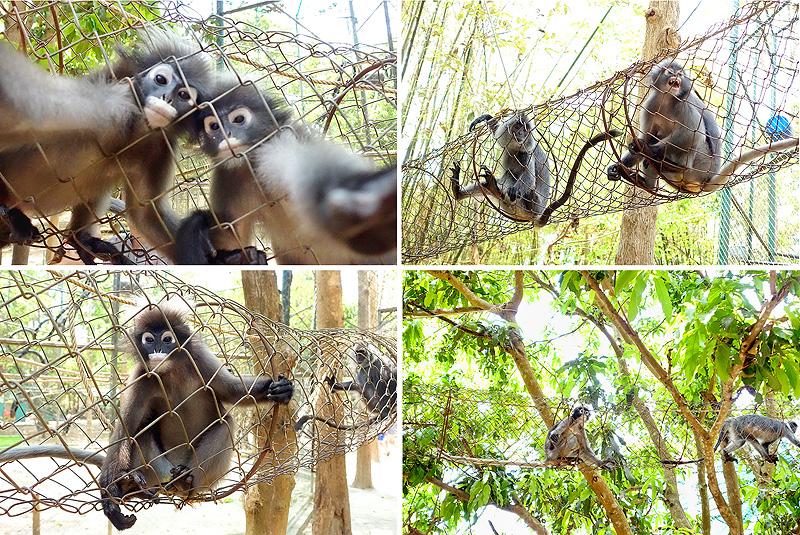 Thailand-WFFT-Macaque-Monkeys