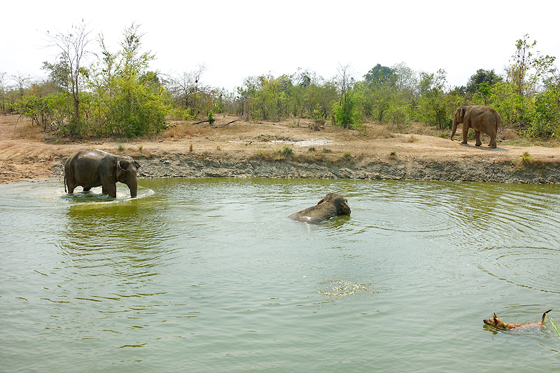 Thailand-WFFT-elephant-tour-females-swimming-02