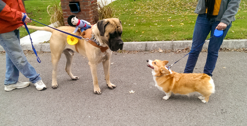 corgi-meets-mastiff