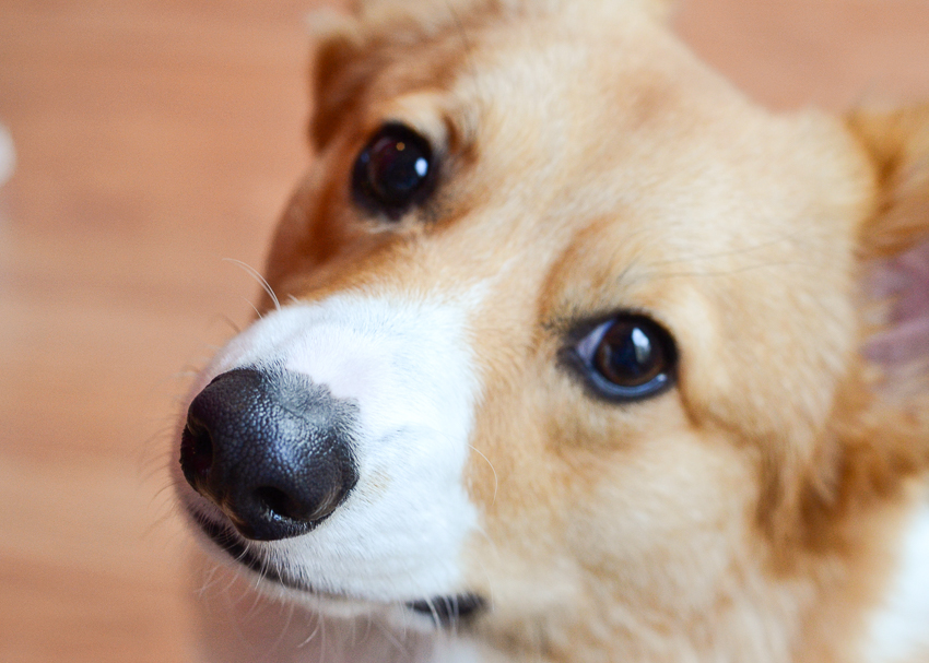 welsh-corgi-closeupf