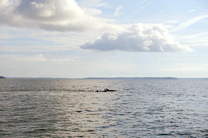 Hilton-Head-Island-Dolphin-Boat-dolphins-01