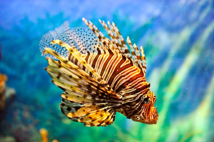 Lionfish Credit_ Vudhikrai